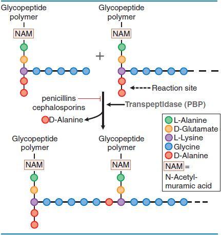cơ chế hoạt động của cephalosporin