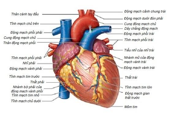 Cấu tạo ngoài của tim