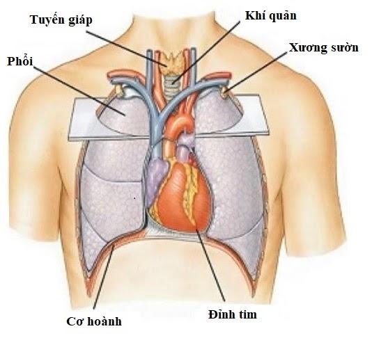 Vị trí của tim