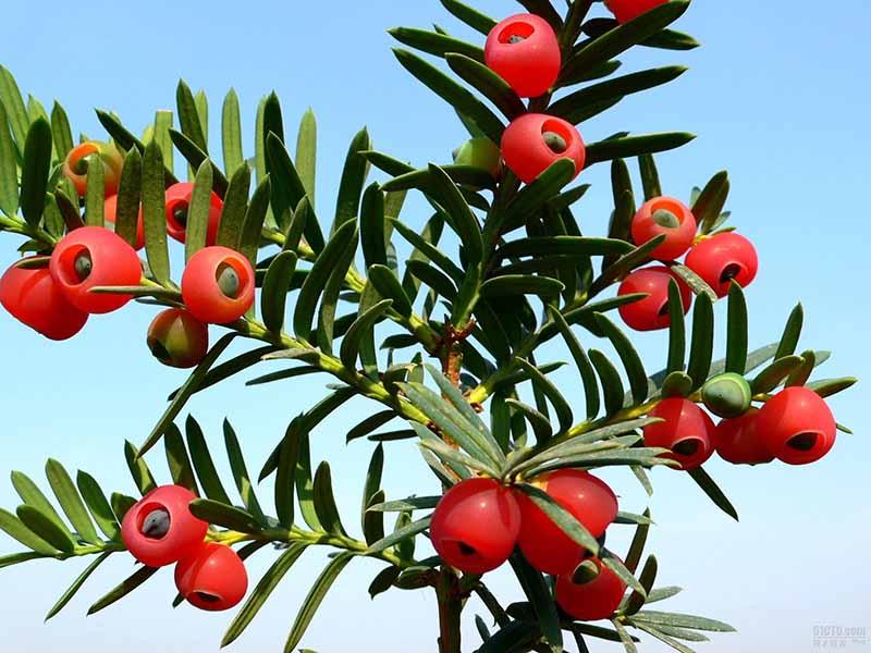 Lá và vỏ cây thông đỏ